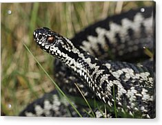 Male Common European Adder Acrylic Print by Colin Varndell