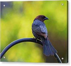 Male Cowbird - Back Profile Acrylic Print by Bill Tiepelman