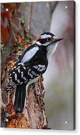 Male Downy Woodpecker Acrylic Print