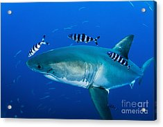 Male Great White Shark And Pilot Fish Acrylic Print by Todd Winner