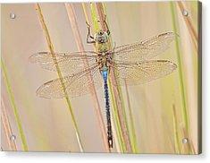 Male Green Darner Dragonfly Acrylic Print by Bonnie Barry