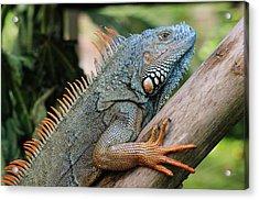 Male Green Iguana Acrylic Print by Tom Schwabel