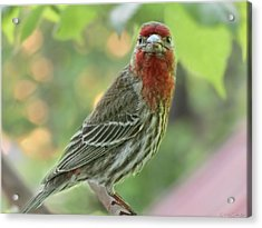 Acrylic Print featuring the photograph Male House Finch by Debbie Portwood