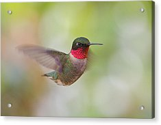 Male In Flight Acrylic Print