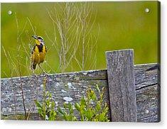 Male Lilian's Meadowlark Acrylic Print by Brenda Becker