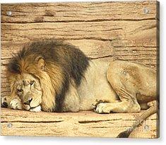 Male Lion Resting Acrylic Print