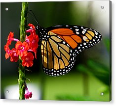 Male Monarch On Red Porterweed Acrylic Print by Judy Wanamaker