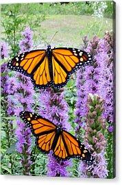 Male Monarchs Acrylic Print by Katie Bauer