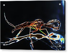 Male Mosquito Enhanced Acrylic Print by Lynda Dawson-Youngclaus