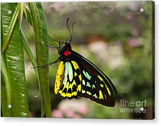 Acrylic Print featuring the photograph Male New Guinea Birdwing Butterfly by Eva Kaufman