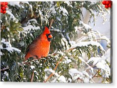 Male Northern Cardinal. Acrylic Print by Kelly Nelson