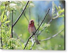 Male Purple Finch Acrylic Print