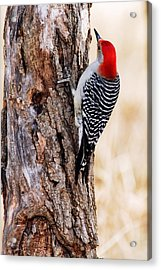 Male Red-bellied Woodpecker 2 Acrylic Print by Larry Ricker