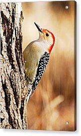 Male Red-bellied Woodpecker 3 Acrylic Print