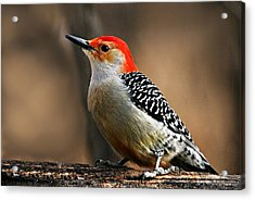 Male Red-bellied Woodpecker 4 Acrylic Print by Larry Ricker
