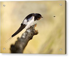 Male Swallow Acrylic Print by Power And Syred