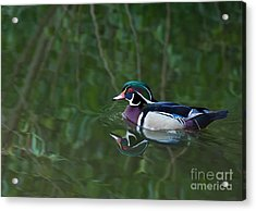 Male Wood Duck In A Forest Of Reflections Acrylic Print