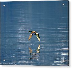 Acrylic Print featuring the photograph Mallard Drake. by Mitch Shindelbower