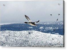 Mallard Duck - 0006 Acrylic Print by S and S Photo