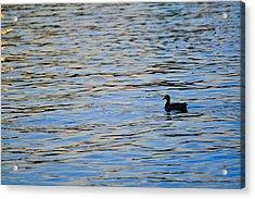 Mallard Duck And Blue Water Acrylic Print by Marianne Campolongo