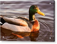 Acrylic Print featuring the photograph Mallard Duck At Sunset by Ann Murphy
