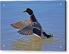 Mallard Duck Acrylic Print by Charles Covington