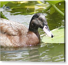 Mallard Duck Acrylic Print by Lisa Williams