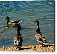 Mallard Ducks Acrylic Print by David Killian
