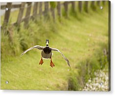 Mallard In Flight Acrylic Print