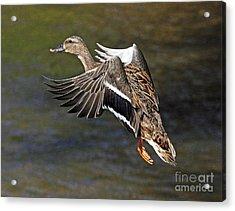 Mallard Landing Acrylic Print