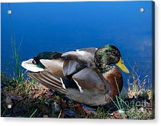Acrylic Print featuring the photograph Mallard On River Bank by Eva Kaufman