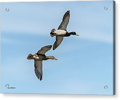 Acrylic Print featuring the photograph Mallards In Flight by Stephen  Johnson