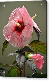 Mallow Hibiscus Acrylic Print by Sandi OReilly