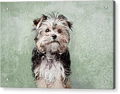 Maltese Mix On  Green Background Acrylic Print by Chad Latta