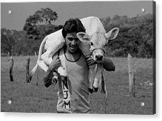 Man With Calf Acrylic Print by Michael Mogensen