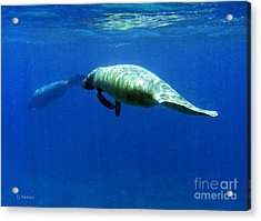 Manatee Magic Acrylic Print