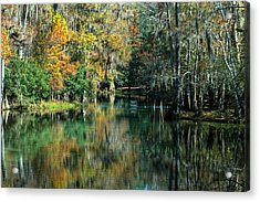 Manatee Spring Florida Acrylic Print by Ronald T Williams