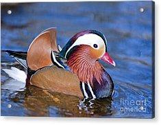 Mandarin Duck Acrylic Print by Andrew  Michael