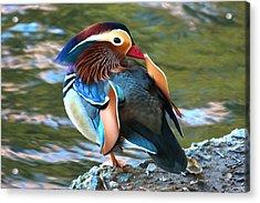 Mandarin Duck Acrylic Print by Paul Marto
