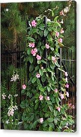 Mandevilla Vine With Pink Flowers Acrylic Print by Darlyne A. Murawski