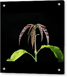 Mango Tree Baby Leaves Shooting Out Acrylic Print