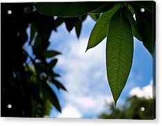 Mango Tree Leaf Acrylic Print by Anya Brewley schultheiss