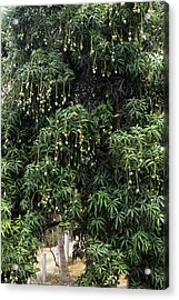 Mango Tree Acrylic Print