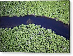 Mangrove River Acrylic Print by Alexis Rosenfeld