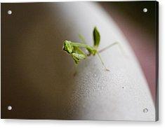 Mantis 1 Acrylic Print by Jessica Velasco