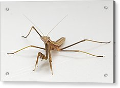 Acrylic Print featuring the photograph Mantis 1 by John Crothers