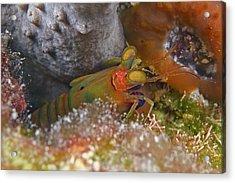 Mantis Shrimp Acrylic Print by Clay Coleman