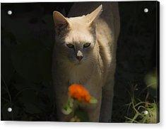 Many Moods Of Kitty Acrylic Print