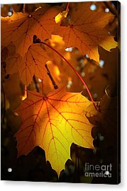 Maple At First Light Acrylic Print