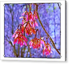 Maple Keys Acrylic Print by Judi Bagwell